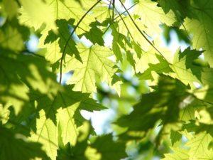 Ahornblätter
